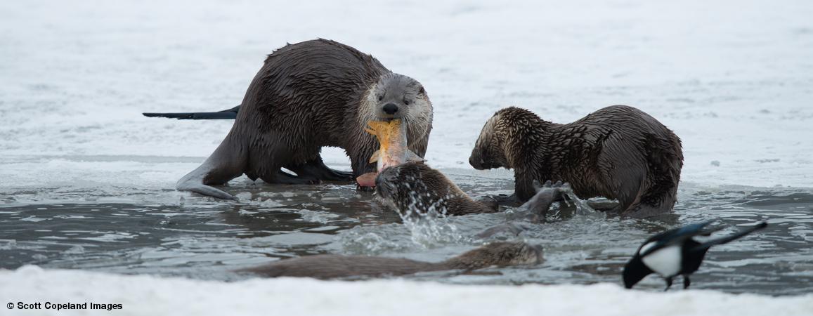 Scott_Copeland_Oxbow_Bend_Otters-34