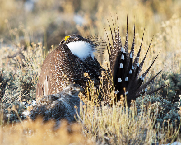 Legislative Alert: Risky business and sage-grouse