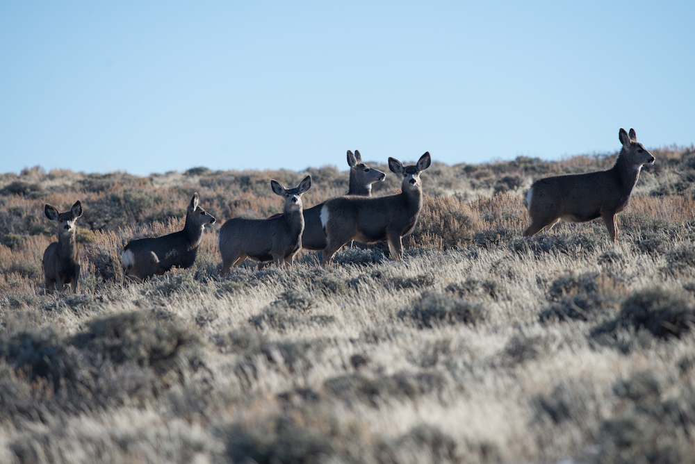Help protect North America's longest mule deer migration corridor