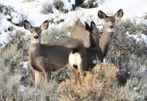 Wyoming must stand up to feds to save mule deer