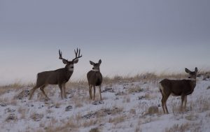 Wyoming must do more  to protect mule deer migrations
