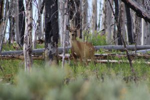 We're on the move to support our migratory mule deer