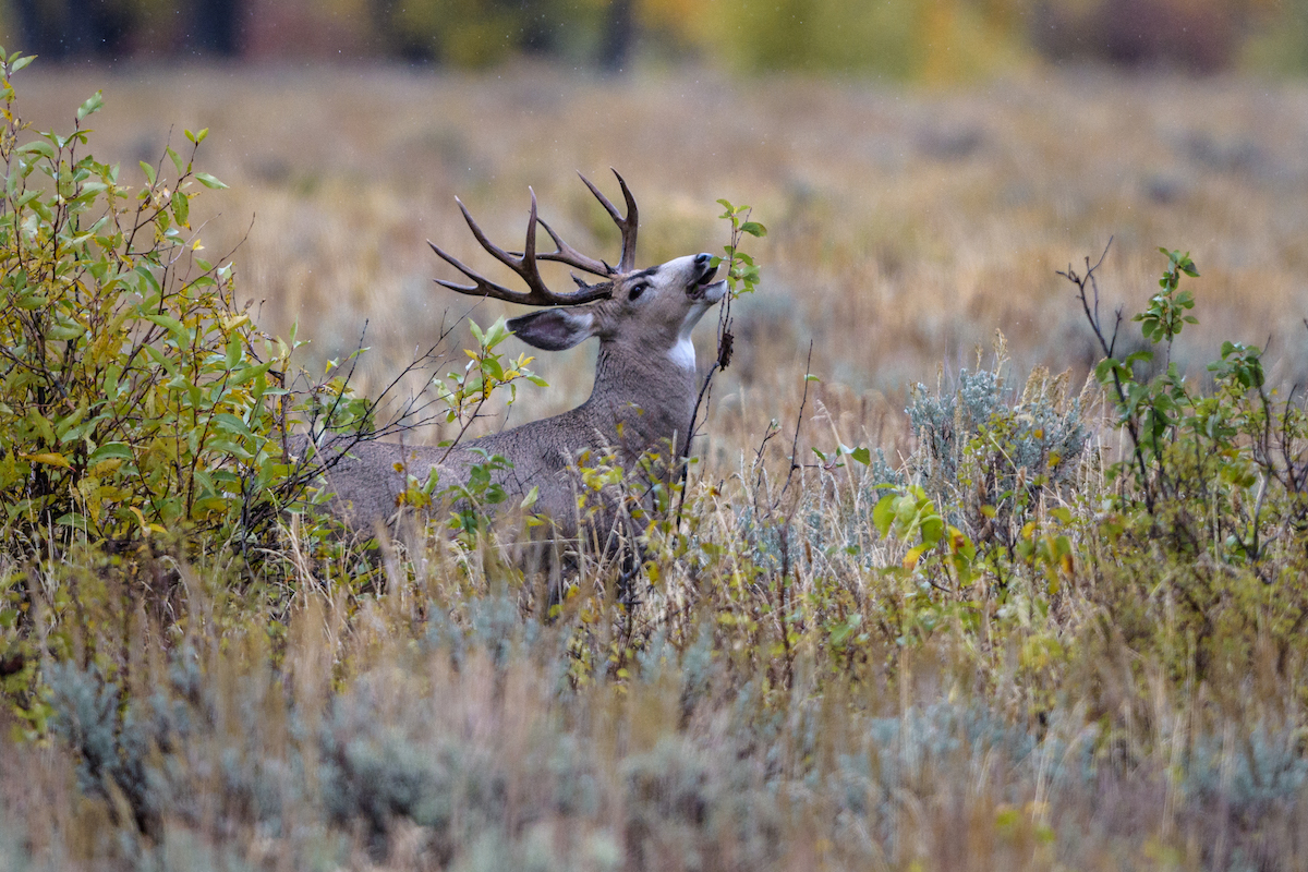 "Story behind the photo: ""Mule Deer Buck"" by Debbie Tubridy"