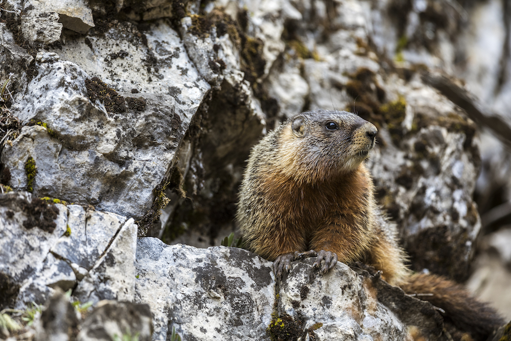 "Story behind the photos: ""Lincoln's sparrow"" and ""Marmot"" by Sean McKinley"